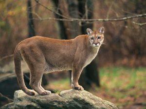 Northeastern Cougar