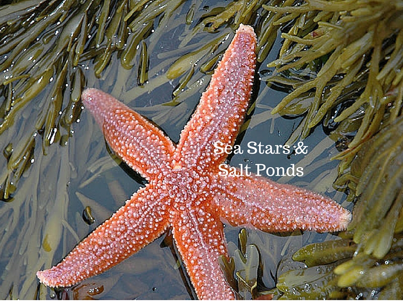 Sea Stars in Salt Ponds